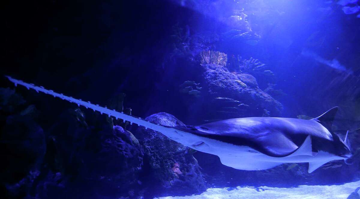 A sawfish inside the 200,000 gallon shark tank during Shark Weekend at the Downtown Aquarium Saturday, Aug. 8, 2015, in Houston.