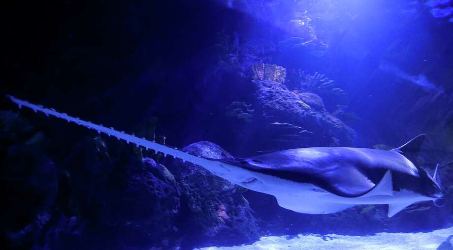 A sawfish inside the 200,000 gallon shark tank during Shark Weekend at the Downtown Aquarium Saturday, Aug. 8, 2015, in Houston. Photo: James Nielsen, Houston Chronicle / © 2015  Houston Chronicle