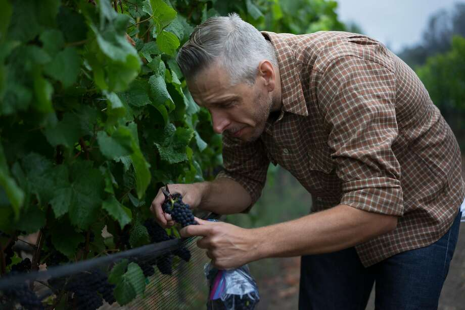 Drew Huffine gathers Pinot grapes for sampling in Aptos, Calif. on Saturday, Aug. 8, 2015. Virgil and Huffine both have daytime jobs but hope to make winemaking their full-time business. Photo: James Tensuan, Special To The Chronicle