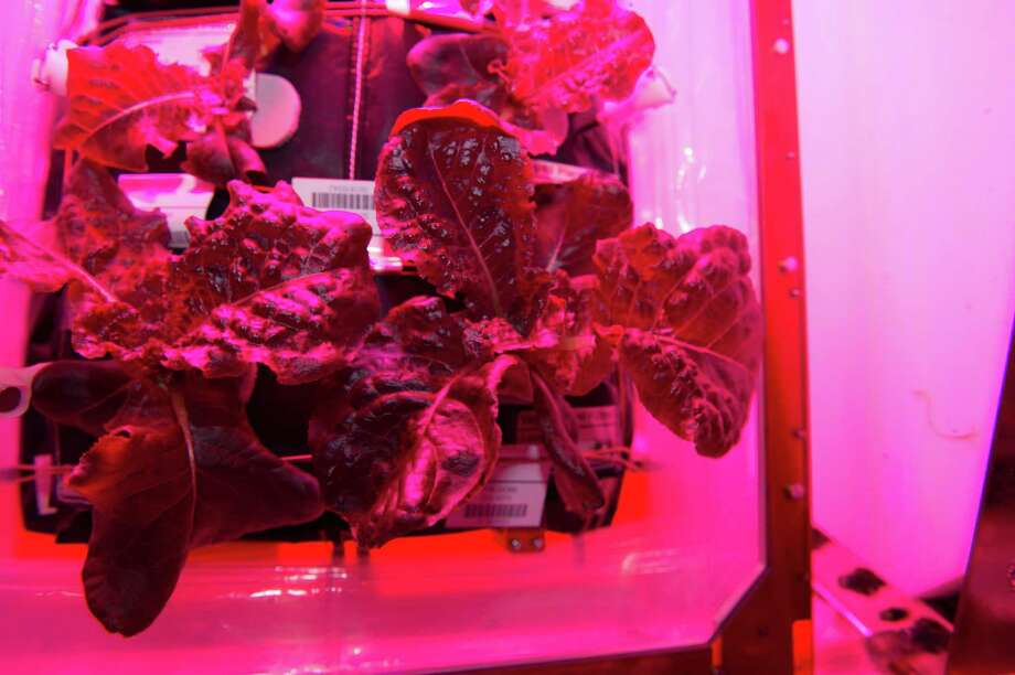 "Astronauts on the International Space Station sampled their harvest of a crop of ""Outredgeous"" red romaine lettuce from the Veggie plant growth system that tests hardware for growing vegetables and other plants in space. Photo: NASA"