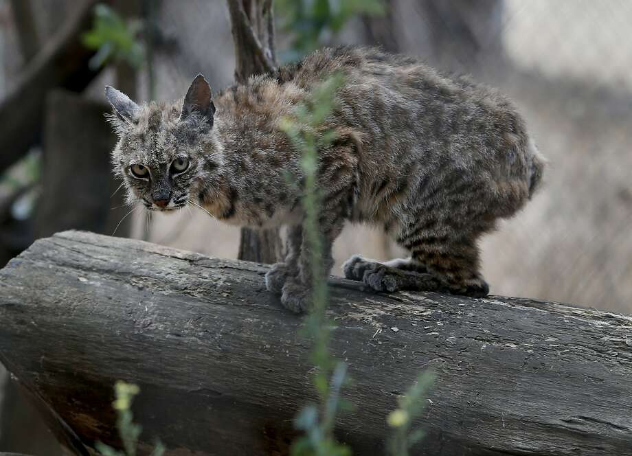 A bobcat with a severe case of ringworm is being rehabilitated at Sonoma County Wildlife Rescue Monday August 10, 2015 in Petaluma, Calif. California wildlife advocates like the staff at Sonoma County Wildlife Rescue are celebrating the ban on bobcat trapping and are now setting their sights on protecting other species like foxes and coyotes. Photo: Brant Ward, The Chronicle