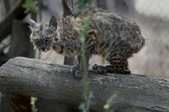 A bobcat with a severe case of ringworm is being rehabilitated at Sonoma County Wildlife Rescue Monday August 10, 2015 in Petaluma, Calif. California wildlife advocates like the staff at Sonoma County Wildlife Rescue are celebrating the ban on bobcat trapping and are now setting their sights on protecting other species like foxes and coyotes.