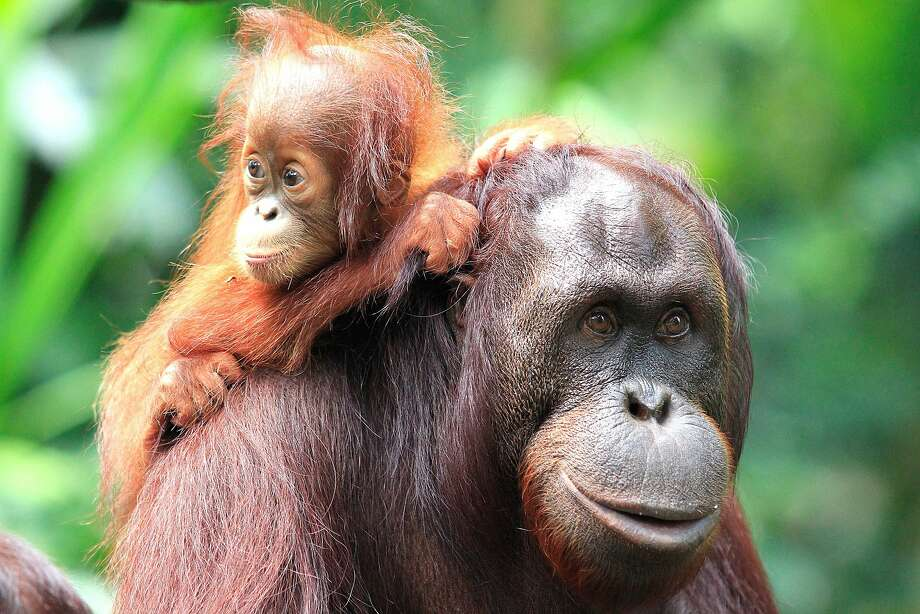 "After a 15-year absence, Bornean orangutans will be visible for guests at the San Francisco Zoo & Gardens again, with ""sneak peeks"" of them in the new Orangutan Passage, part of the Great Ape Passage, starting Memorial Day Weekend. The orangutans in this photo are from Borneo's Maliau Basin Conservation Area. Photo: Yayasan Sabah"