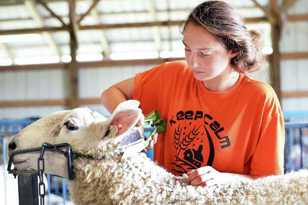 Katie Joyce, 14, of Fultonville trims her Border Leicester sheep for show at the Altamont Fair Tuesday August 11, 2015 in Altamont, NY.   (John Carl D'Annibale / Times Union) Photo: John Carl D'Annibale / 10032906A