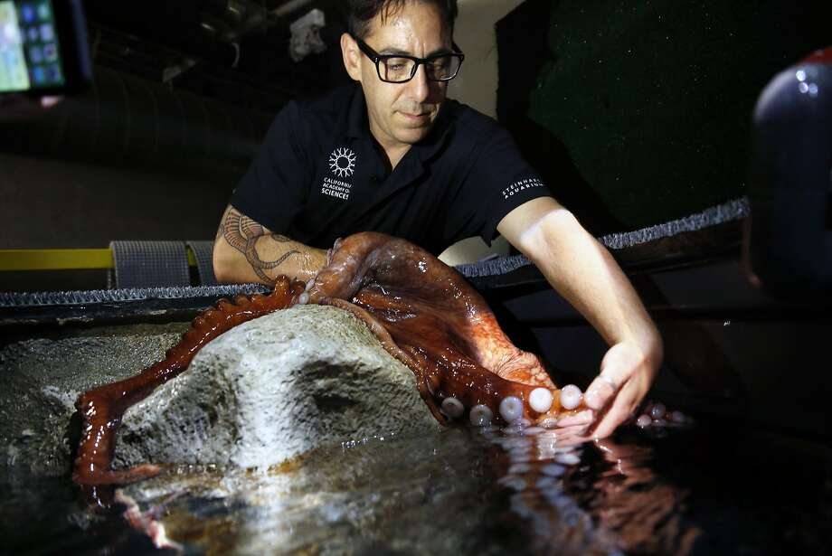 Richard Ross, marine biologist at the California Academy of Sciences, examines a Giant Pacific Octopus at the Aquarium in the Academy in San Francisco, Calif., on Tuesday, Aug. 11, 2015. Photo: Scott Strazzante, The Chronicle