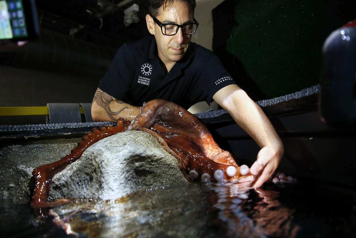 Richard Ross, marine biologist at the California Academy of Sciences, examines a Giant Pacific Octopus at the Aquarium in the Academy in San Francisco, Calif., on Tuesday, Aug. 11, 2015.