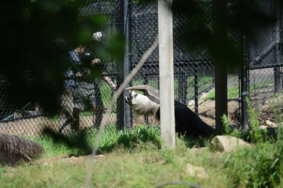 Two giant anteaters are now living in the Pampas Plains exhibit at Connecticut's Beardsley Zoo in Bridgeport, Conn. The pair of Giant anteaters arrived from Palm Beach Zoo in Palm Beach, Florida, in May and are now acclimated to their new home and ready for visitors. Photo: Autumn Driscoll / Hearst Connecticut Media / Connecticut Post