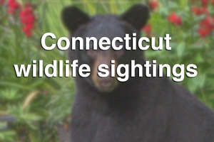 Petition urges DEEP not to kill 'curious bear' - Photo