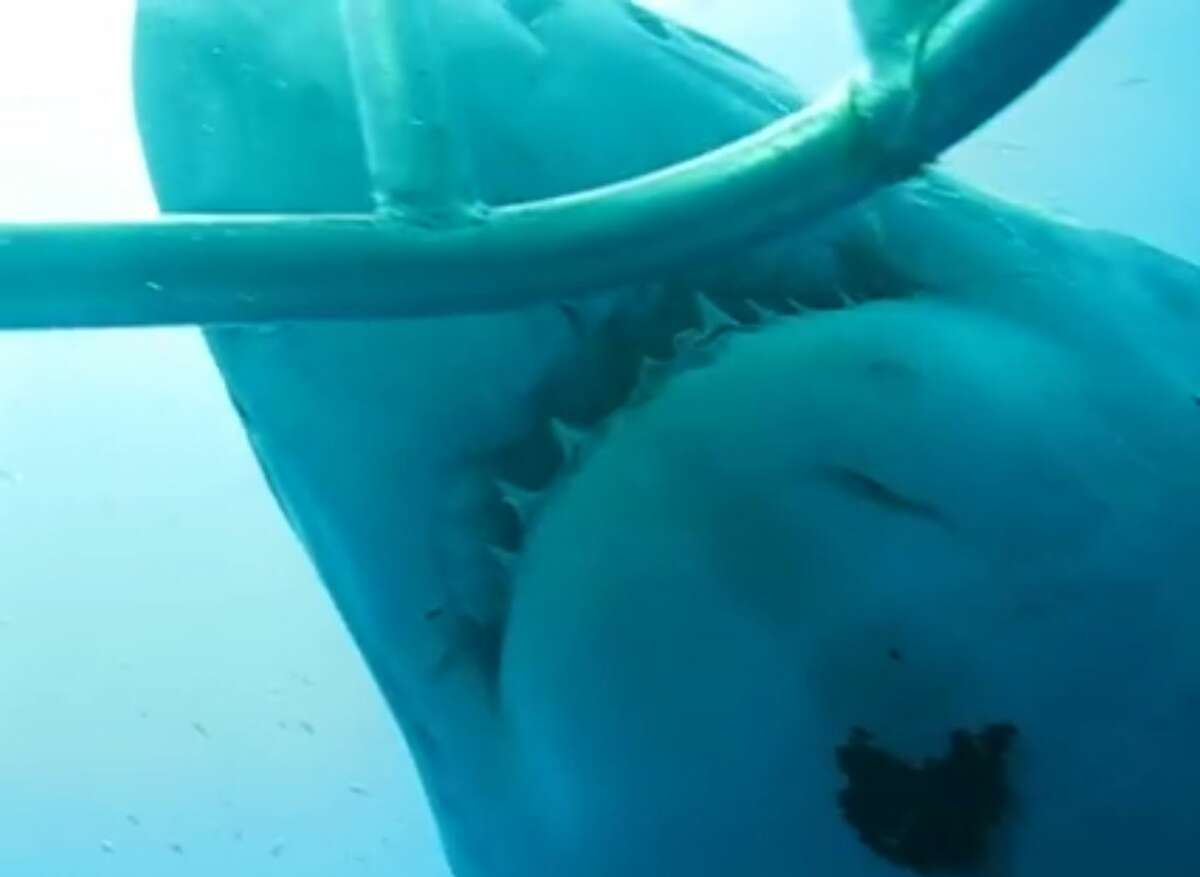 Researcher Mauricio Hoyos Padilla has released new footage captured in 2013 of the gigantic great white shark