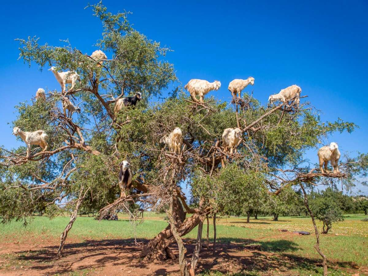 In Morocco, goats climb up argan trees in order to eat their fruit. The site is not uncommon to locals, but travelers are often shocked to see the bizarre phenomenon. Source: Lonely Planet
