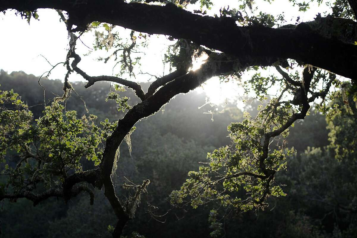 The afternoon sun shines through the trees at the Windy Hill Open Preserve in Portola Valley, CA Friday, August 7, 2015.