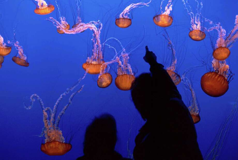 Visitors taking in the sea nettles on exhibit at Monterey Bay Aquarium. Photo: Monterey Bay Aquarium / ONLINE_YES