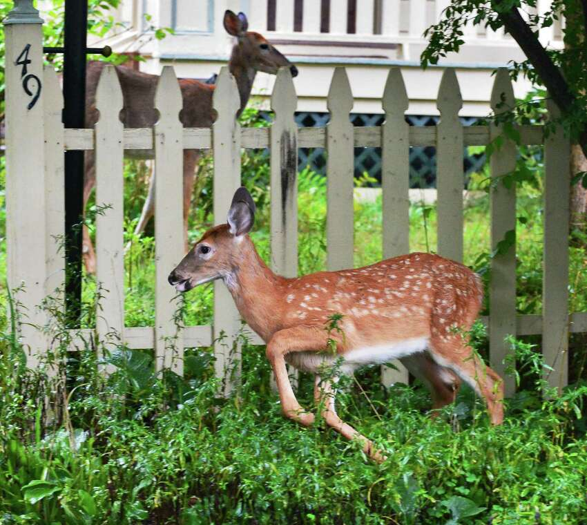 A doe and fawn grazing in the front yard of a suburban home on Roweland Ave. Tuesday Sept. 10, 2013, in Delmar, N.Y. (John Carl D'Annibale / Times Union archive)