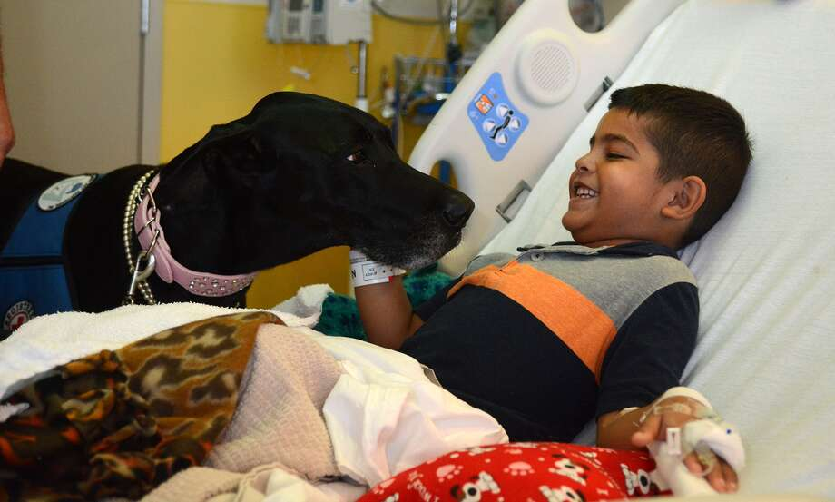 """Sophie"", center, a 5 yr.old Great Dane and pet therapy dog from Montgomery Pet Partners, Inc.,  visits with Memorial Hermann The Woodlands patient Noah Padron, 6, a first grader at Smith Elem. in Magnolia, during her rounds on August 11, 2015. (Photo by Jerry Baker/Freelance) Photo: Jerry Baker, Freelance"