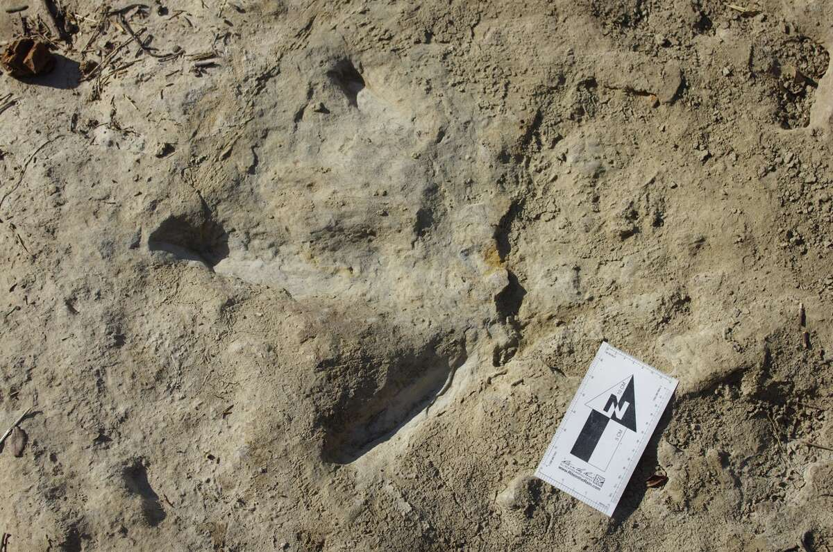 Recent On July 19, a track was discovered in Bolivia of a member of the Abelisaurus family that was 4 feet wide.A fossilized track of the meat-eating theropod dinosaur, seen here, was found near Grapevine Lake in mid-July, 2015,