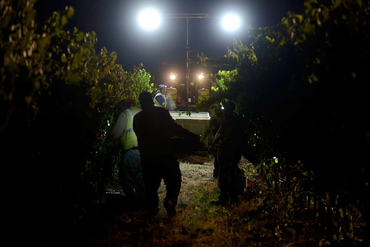 A vineyard crew from Bacchus Vineyard Management picks pinot noir grapes at Bucher Vineyard during an early morning harvest, in Healdsburg, California, on August 14, 2015.