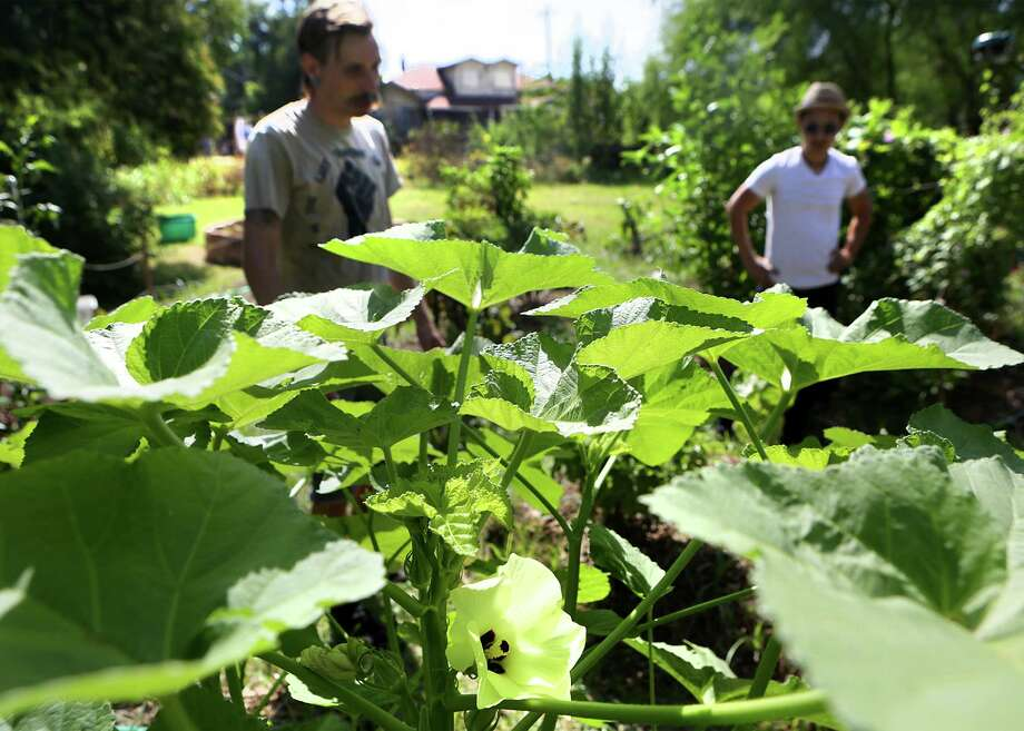 Jorge Gonzalez, right, and Brian Gordon, caretakers of Roots of Change Community Garden, inspect an okra plant on Monday, August 10, 2015. Photo: Bob Owen /San Antonio Express-News / San Antonio Express-News