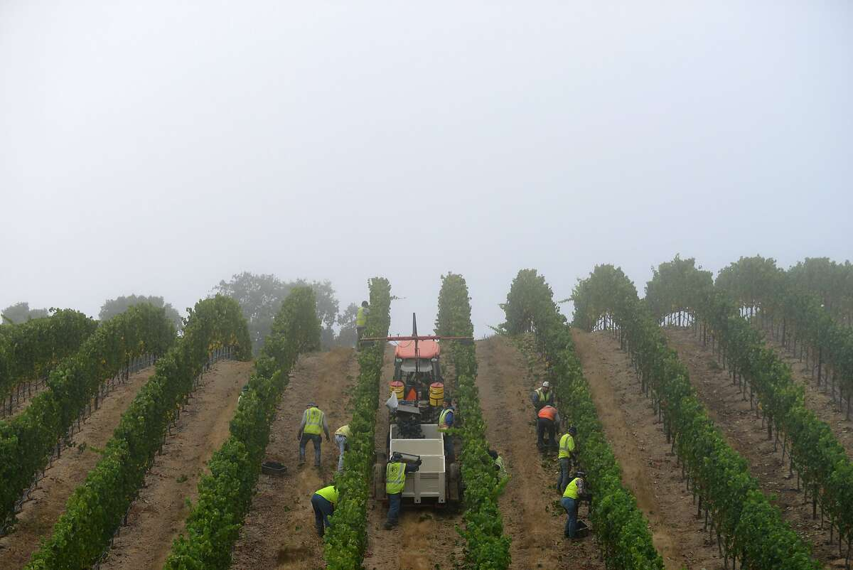 Fog settles over Bucher Vineyard just after sunrise as a crew from Bacchus Vineyard Management harvests pinot noir grapes, at Bucher Vineyard in Healdsburg, California, on August 14, 2015.