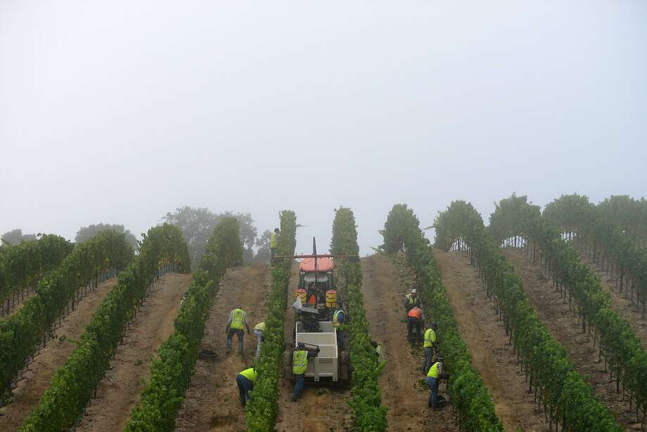 Fog settles over Bucher Vineyard just after sunrise as a crew from Bacchus Vineyard Management harvests pinot noir grapes, at Bucher Vineyard in Healdsburg, California, on August 14, 2015. Photo: Alvin Jornada, Special To The Chronicle