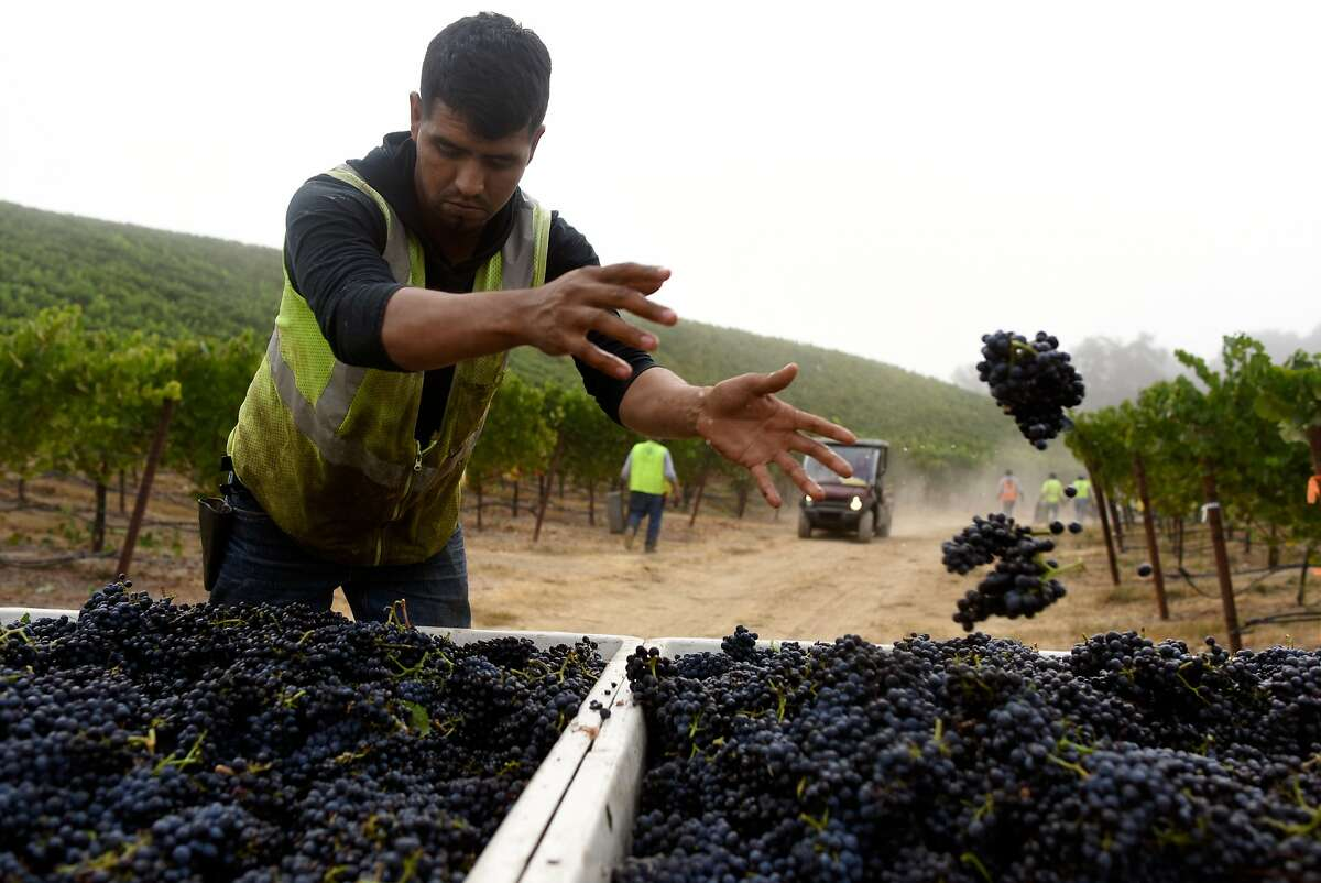 Alejandro Meza redistributes bunches of grapes between bins during an early pinot noir grape harvest at Bucher Vineyard in Healdsburg, California, on August 14, 2015.