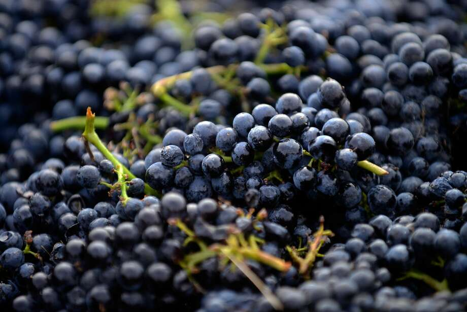 Freshly harvested pinot noir grapes are seen at Bucher Vineyard in Healdsburg, California, on August 14, 2015. The grapes were harvested approximately 3-4 weeks earlier than the previous year due to multiple factors, including drought conditions in California. Photo: Alvin Jornada, Special To The Chronicle