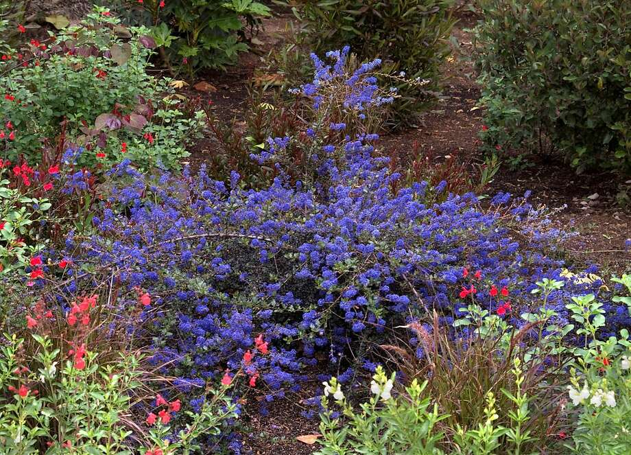 Ceanothus 'Blue Sapphire' can spread to 6 feet in diameter. Photo: Monrovia Growers