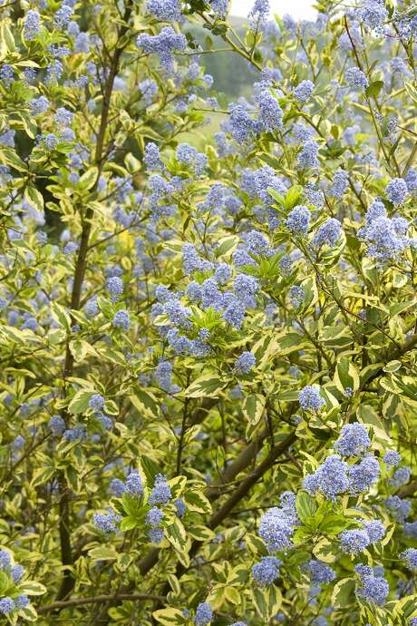 Ceanothus 'El Dorado' shrub has variegated gold and green foliage. It sports lilac-colored blooms. Photo: Monrovia Growers