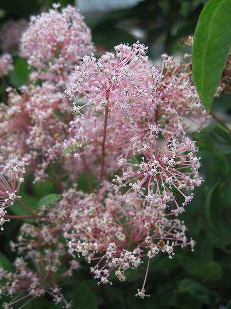 Although most Ceanothus have bluish-purple flowers, 'Marie Simon' erupts in pink blossoms. Photo: Annie's Annuals & Perennials