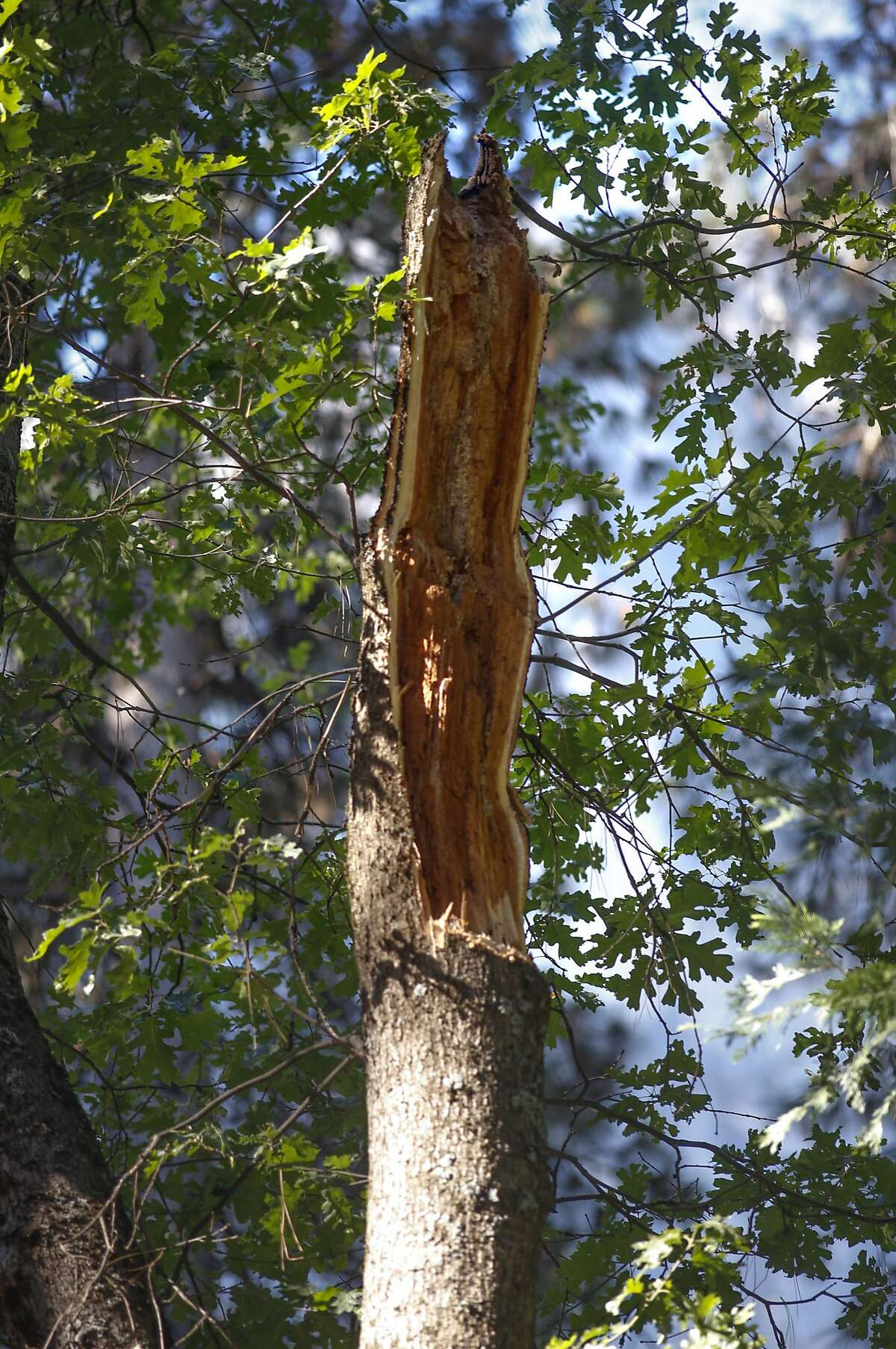 The trunk of the oak tree that lost the huge branch at the Upper Pines campground in Yosemite National Park, Calif., on Sat. August 15, 2015, a day after the tree branch fell onto a tent with two children sleeping inside killing them.