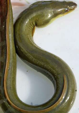 An eel on display during the fourth annual Great Hudson River Estuary Fish Count at Peebles Island State Park Saturday, August 15, 2015 in Cohoes, NY.  (John Carl D'Annibale / Times Union) Photo: John Carl D'Annibale / 00032957A