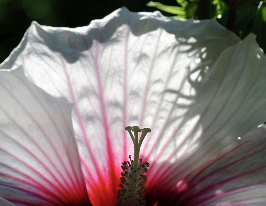 The female reproductive parts of an hibiscus plant, the stigma (center), style branch and style, are silhouetted by the red, pink and white flowering part of the plant in the backyard of a Byram home in Greenwich Photo: Bob Luckey Jr. / Hearst Connecticut Media / Greenwich Time