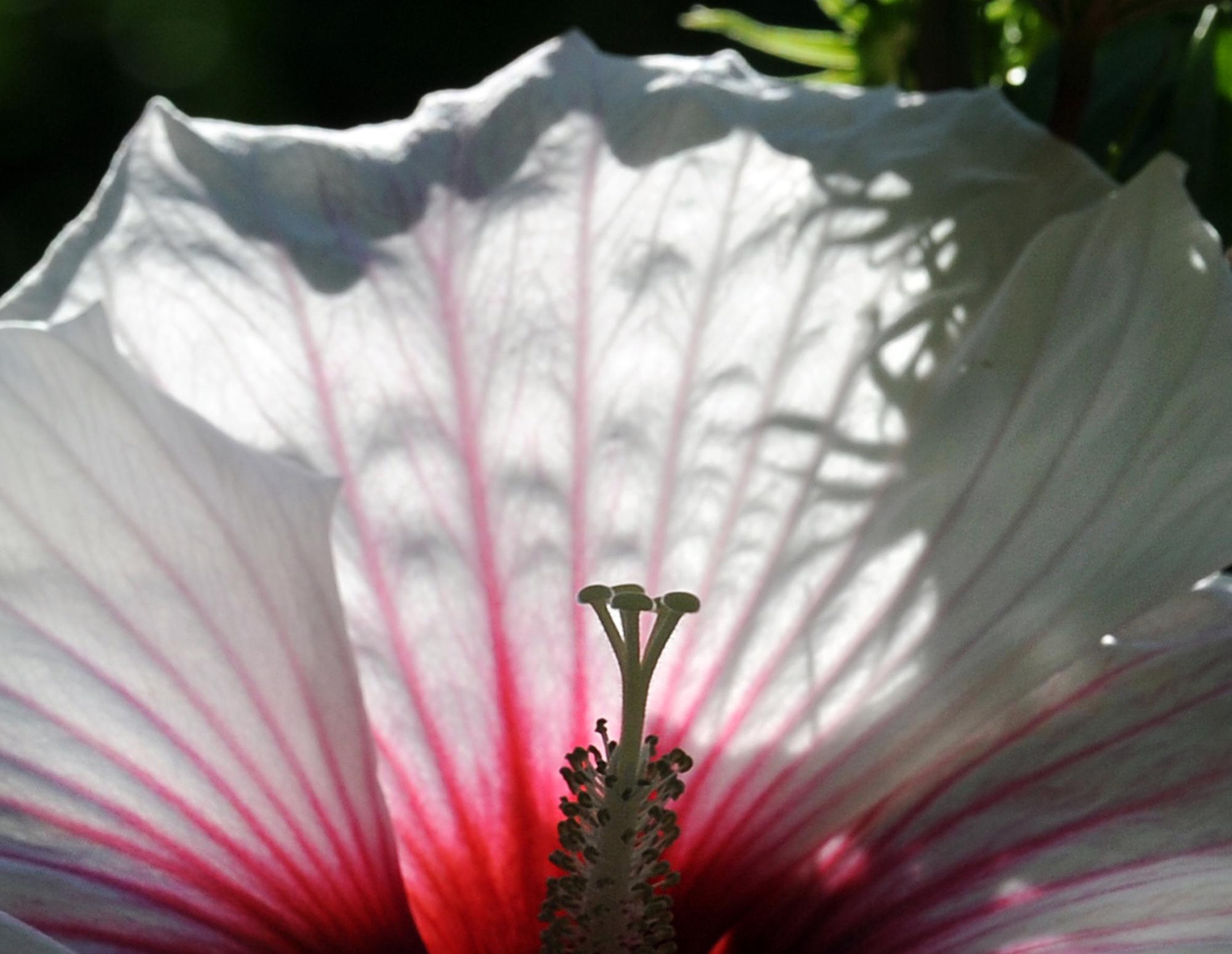 Hibiscus Flower Greenwichtime