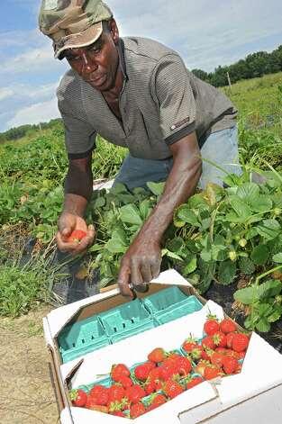 Jonathan Dobbs of Jamaica picks strawberries at Bowman Orchard on Thursday, Aug. 13, 2015 in Rexford, N.Y. (Lori Van Buren / Times Union) Photo: Lori Van Buren / 00032990A