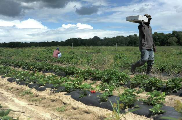 Aston Vassell, left, and Jonathan Dobbs of Jamaica pick strawberries at Bowman Orchard on Thursday, Aug. 13, 2015 in Rexford, N.Y. (Lori Van Buren / Times Union) Photo: Lori Van Buren / 00032990A