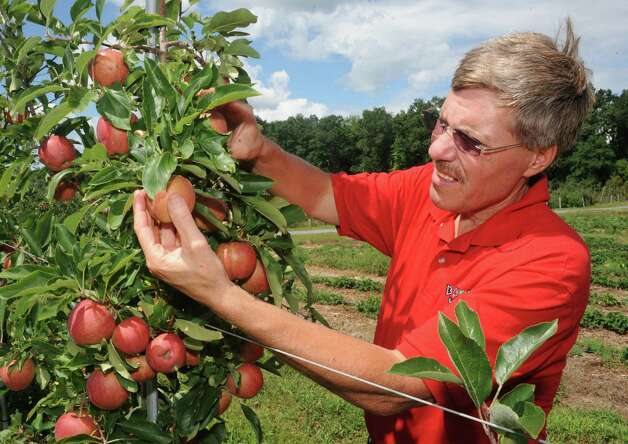 Bowman Orchard Owner Kevin Bowman checks over his Gala apples at at his orchard on Thursday, Aug. 13, 2015 in Rexford, N.Y. Bowman is part of a state task force that is looking at ways to protect honeybees and other pollinator. He needs bees to pollinate his apple orchard and strawberry crop. (Lori Van Buren / Times Union) Photo: Lori Van Buren / 00032990A