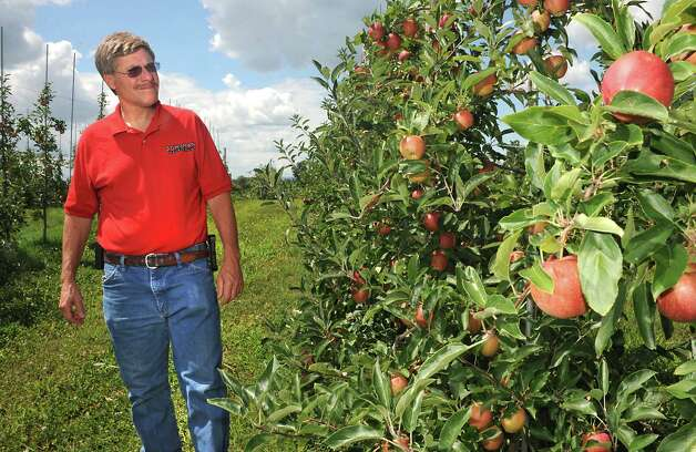 Bowman Orchard Owner Kevin Bowman walks down a row of Gala apple trees at at his orchard on Thursday, Aug. 13, 2015 in Rexford, N.Y. Bowman is part of a state task force that is looking at ways to protect honeybees and other pollinator. He needs bees to pollinate his apple orchard and strawberry crop. (Lori Van Buren / Times Union) Photo: Lori Van Buren / 00032990A
