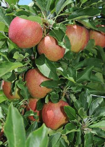 Gala apples at Bowman Orchard on Thursday, Aug. 13, 2015 in Rexford, N.Y. (Lori Van Buren / Times Union) Photo: Lori Van Buren / 00032990A
