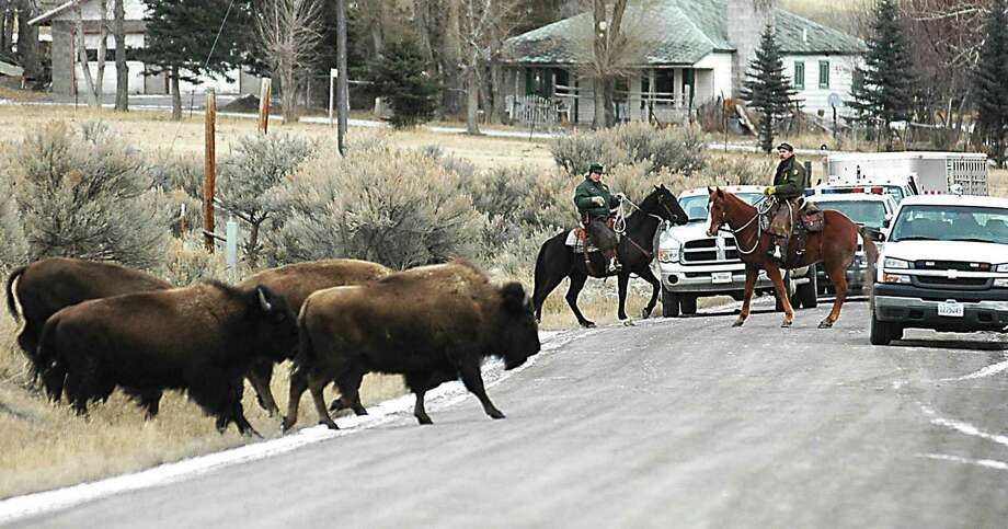 Yellowstone wranglers remove stray park bison from private land in Montana in 2006. Wandering bison can be shot by hunters or end up at the meatpacking plant.  Photo: GARRETT CHEEN, MBR / THE ENTERPRISE