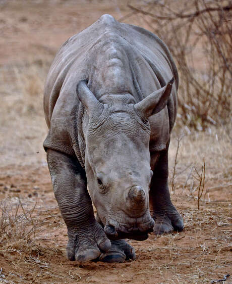 A baby rhino in 2013 explores the Entabeni Safari Conservency in South Africa.  Photo: Dex Kotze, HONS / The Rhino Orphange via Jenna Cli