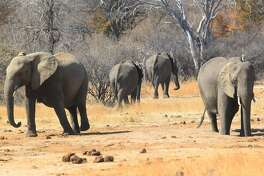 Elephants roam freely near the railway track that Cecil the lion crossed when he was lured onto a farm in an alleged illegal hunt in Hwange about 700 kilometres south  west of Harare, Zimbabwe, Thursday, Aug. 6, 2015. Cecil had to cross only a set of railroad tracks to go  from a protected area to a kill zone. The killing  of Cecil by an American hunter triggered  outrage far beyond Zimbabwes boarders and has strengthened resolve to enforce regulations governing hunting. (AP Photo/Tsvangirayi Mukwazhi)