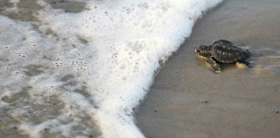 A Kemps ridley sea turtle makes its way to the Gulf of Mexico during the first sea turtle hatchling release of the season last year. Scientists are worried about their longterm outlook. Photo: Rachel Denny Clow, MBO / Corpus Christi Caller-Times