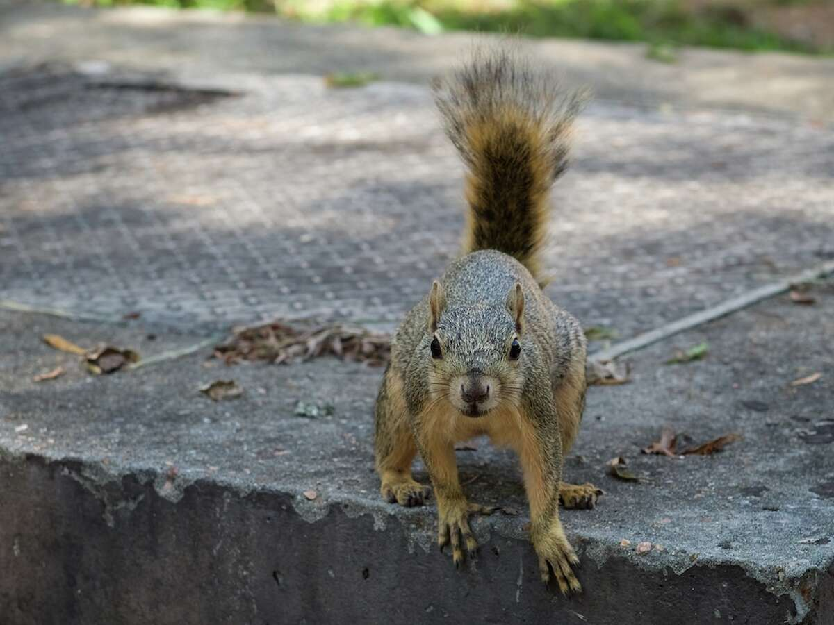 Fox The fox squirrel is larger and distinguished by its reddish coat. It can range from 17 to 27 inches in length and up to 2.2 pounds.