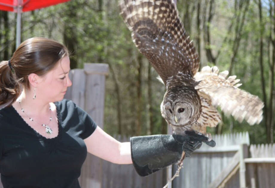 A barred owl, one of the birds of prey at the Connecticut Audubon Center at Fairfield. Photo: Contributed Photo /Fairfield Citizen /  Fairfield Citizen contributed