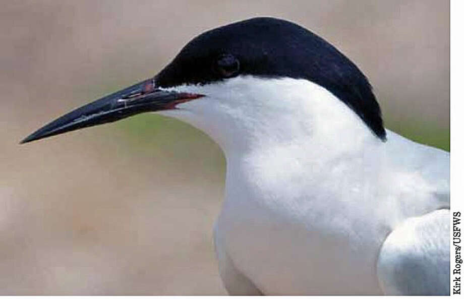 The roseate tern can now be seen in Connecticut. Photo: Kirk Rogers /U.S. Fish And Wildlife Service