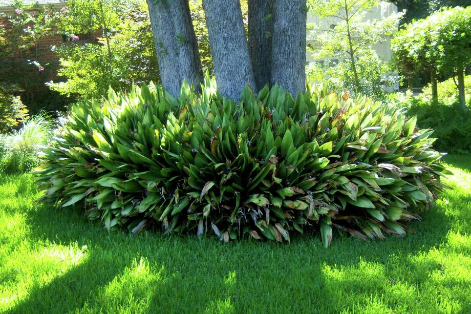 Unwanted aspidistra plants are too valuable to toss out. Share them with a neighbor or another gardener. They are easy to establish as transplants. Photo: Courtesy Photo