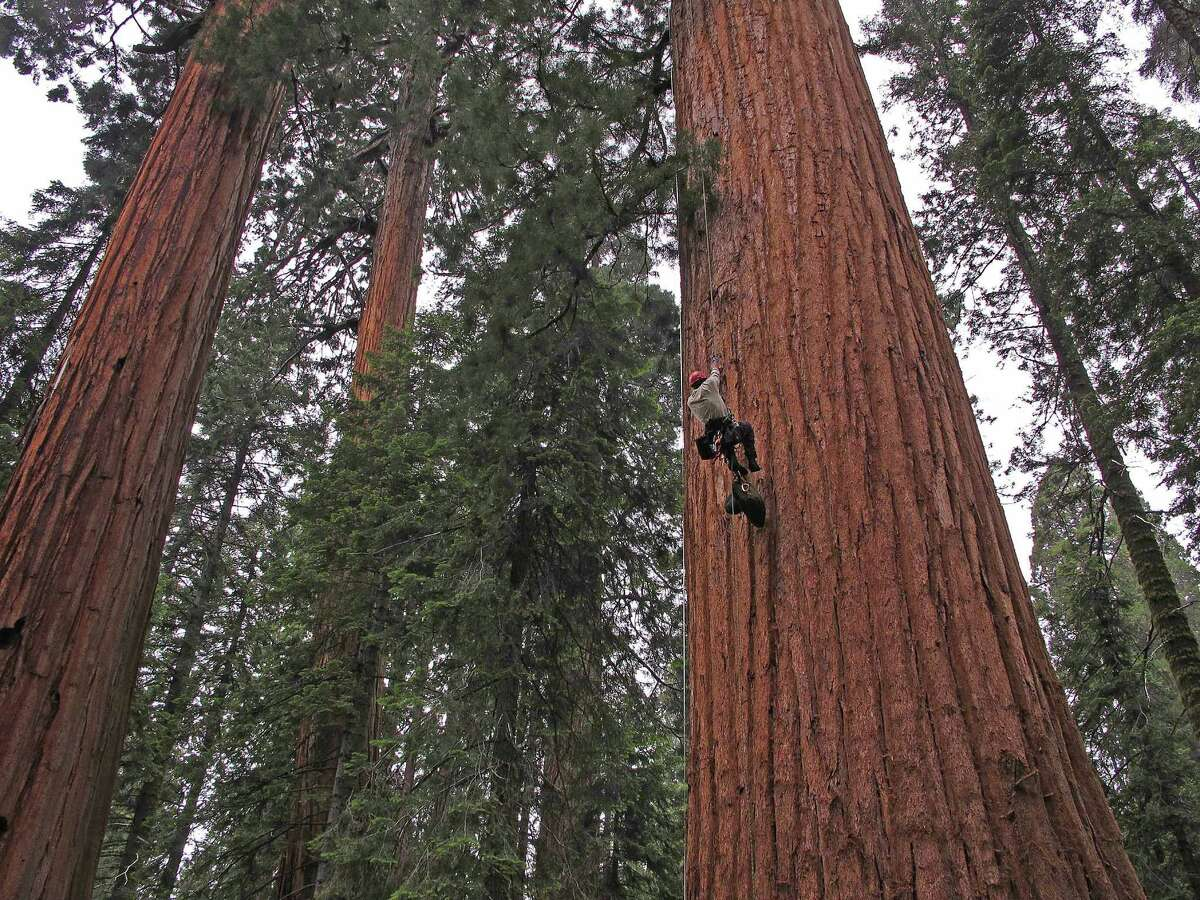 Cameron Williams of UC Berkeley climbs a tree at Giant Forest in Sequoia National Park for a study  looking at the impact of the drought on the giant sequoias in California's Sierra Nevada.