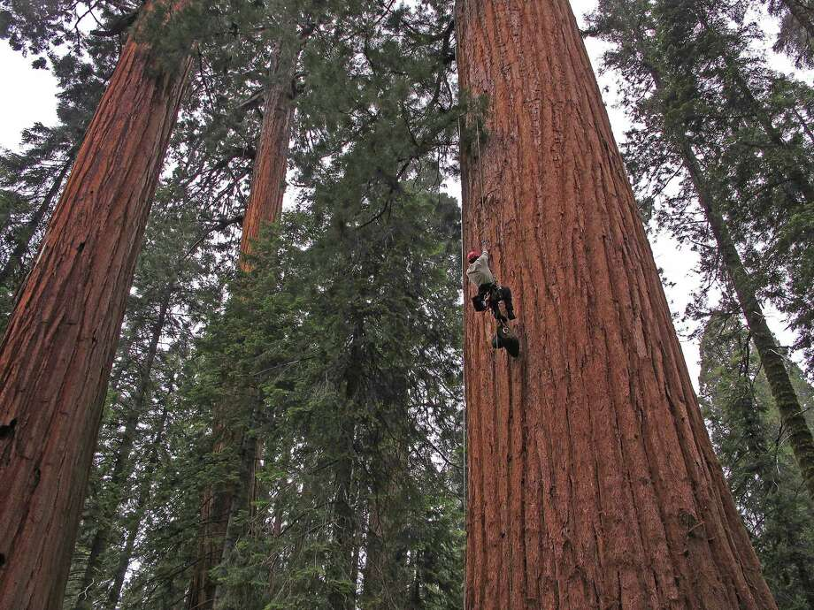 Cameron Williams of UC Berkeley climbs a tree at Giant Forest in Sequoia National Park for a study looking at the impact of the drought on the giant sequoias in California's Sierra Nevada. Photo: Anthony Ambrose
