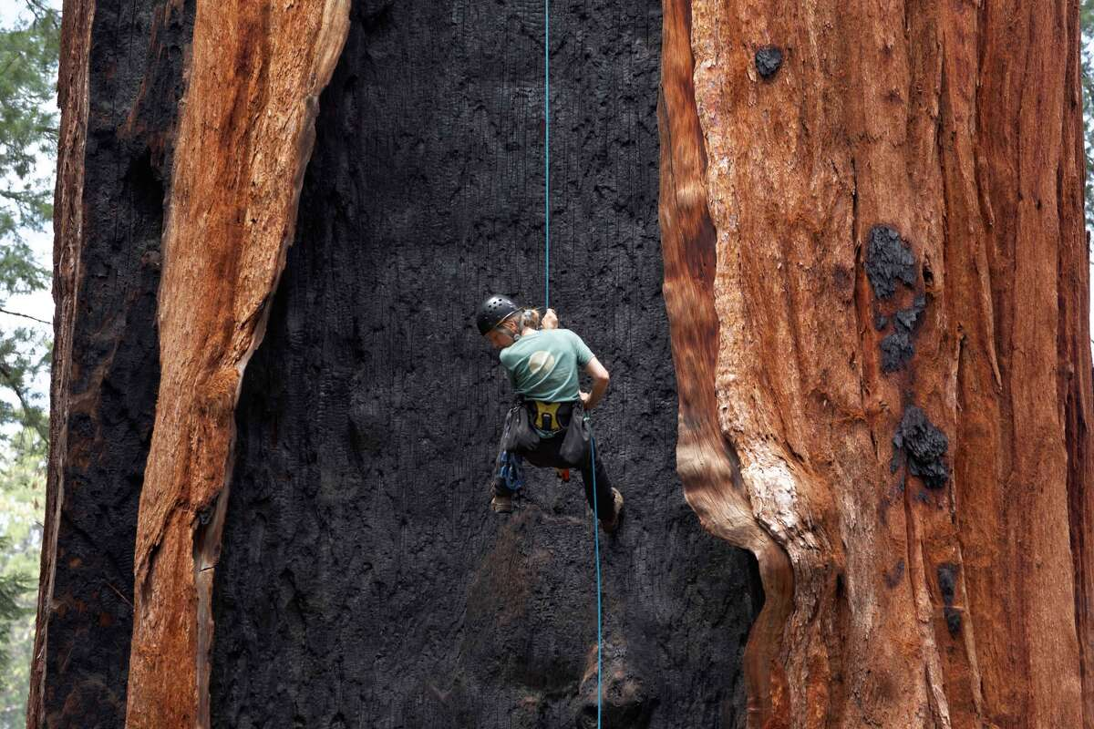 Riikke Naesborg collects data in Sequoia National Park for a study looking at the impact of the drought on the giant sequoias in California's Sierra Nevada.