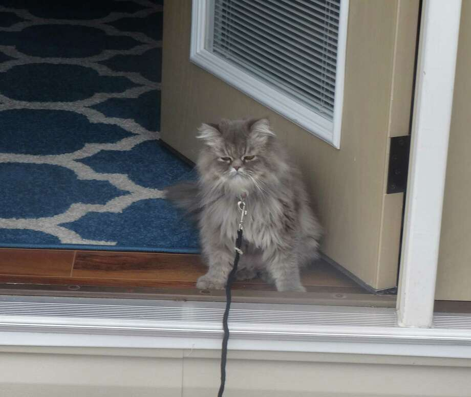 A Vermont couple lost this cat at the I-95 northbound rest area last month. Smokum is a silver grey Angora cat who is about 12 months old and has a red collar. Photo: Contributed Photo