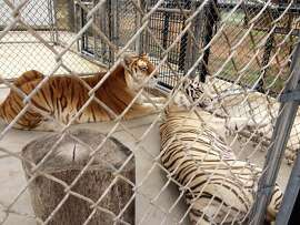 Moksha, a royal white Bengal tiger, and Rajani, a golden tabby, rest in the cages where they will only have to sleep once their much larger new enclosure is unveiled at the Monterey Zoo, formerly Wild Things, in Salinas.